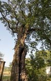 500 year old oak, which survived several lightning strikes in Jaszczurowa. Poland Royalty Free Stock Photos