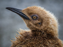 Year old oakum boy, a teenage King Penguin about to molt Stock Photo
