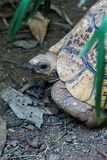 A 125 year old tortoise at the reptile park in Entebbe in Uganda. Crawling through the thicket Stock Photo