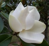This year`s first large white Southern Magnolia Flower. This year`s first large creamy fragrant white Southern Magnolia Flower royalty free stock photography