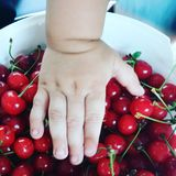 Child's hand on a white bucket of red cherries Stock Photography
