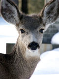 Yearling. Curious baby mule deer in the local cemetery during winter royalty free stock photos