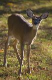 Yearling in autumn. Young whitetail deer on grass in the fall royalty free stock photo