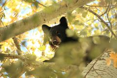 Yearling Black Bear - Through the Leaves. Young black bear cub in a tree near Bozeman, MT in the early Fall of 2015 Stock Photos