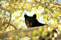 Yearling Black Bear. Young black bear cub in a tree near Bozeman, MT in the early Fall of 2015 Royalty Free Stock Photo
