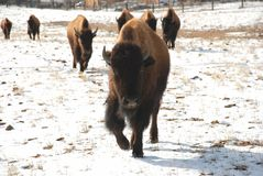Yearling Buffalo Bison Leads The Pack Stock Photo