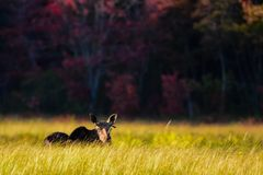 Young bull moose Royalty Free Stock Photography
