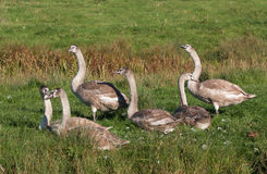 Yearling cygnets on  river bank Stock Image