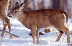 Yearling doe. This beautiful yearling doe follows her mother stock images