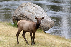 Yearling Elk on the Madison river Royalty Free Stock Image