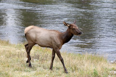Yearling Elk on the Madison river Stock Images