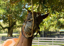 A yearling at a farm in northern florida Royalty Free Stock Image