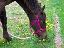 Yearling Filly Grazing Stock Photo