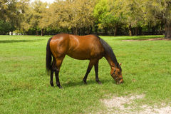 A yearling at a horse farm in ocala Royalty Free Stock Photos
