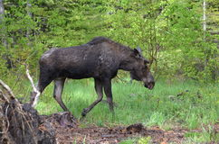 Yearling moose calf Stock Image