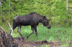 Yearling moose calf. In the Boulder River basin Stock Image
