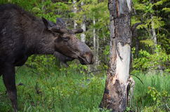 Yearling moose. Walking through green forest Stock Image