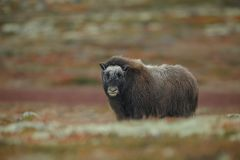 Yearling musk ox in Norway stock photos