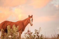 Yearling quarter horse Royalty Free Stock Photos