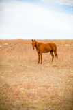 Yearling quarter horse Stock Photo