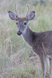 Yearling spike buck in velvet Royalty Free Stock Photography