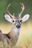 Yearling whitetail buck Stock Image