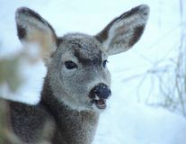 A young deer with winters heavy coat has frost on her face and snout.  Stock Images