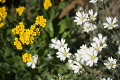 Yearly spring wild flowers, stichwort and canola. Yellow and white blossom. royalty free stock images