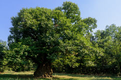 400 years old chestnut tree. 400 years old monumental chestnut tree in Roero, Italy Stock Photo