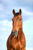 6 years old  horse sticking his tongue Royalty Free Stock Images