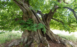 800 years old lime tree Stock Image