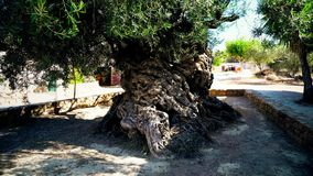 3000 years old olive tree stock footage