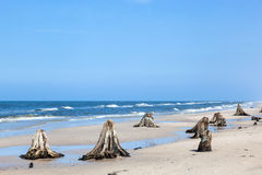 3000 years old tree trunks on the beach after storm Stock Images