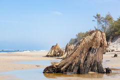 3000 years old tree trunks on the beach after storm. Slowinski National Park, Baltic sea, Poland Royalty Free Stock Photo