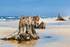 3000 years old tree trunks on the beach after storm. Slowinski National Park, Baltic sea, Poland Stock Photos