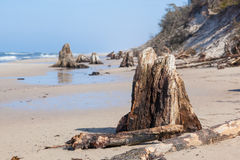 3000 years old tree trunks on the beach after storm. Slowinski National Park, Baltic sea, Poland Royalty Free Stock Image