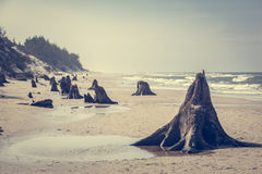 3000 years old tree trunks on the beach after storm. Slowinski National Park, Baltic sea, Poland Stock Images