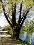 300 years Poplar. ы bushes grass leaves illusion light hollow Royalty Free Stock Photos