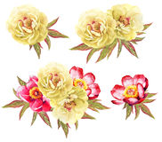 Yeellow and red peonoes flower watercolor illustrations. Collect. Ion of 4 bouquets Stock Photography