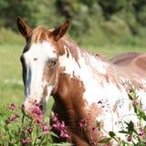 Yegua agradable del caballo de la pintura detrás de las flores púrpuras Imágenes de archivo libres de regalías