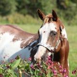 Yegua agradable del caballo de la pintura detrás de las flores púrpuras Imagenes de archivo