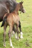 Yegua con el potro recién nacido Fotos de archivo