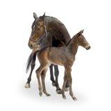 Yegua con su potro (12 días) Imagen de archivo libre de regalías
