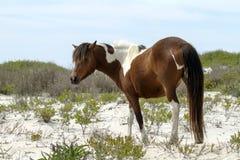 Yegua del caballo salvaje de Assateague Imagen de archivo libre de regalías