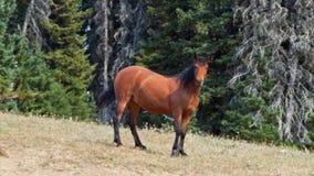 Yegua del caballo salvaje de la bahía en el canto de Sykes en la gama del caballo salvaje de las montañas de Pryor en Montana los Fotos de archivo