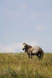 Yegua gris en pasto del verano Imagen de archivo