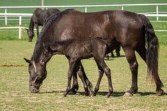 Yegua vieja del caballo del negro de Kladrub con el potro Fotos de archivo libres de regalías