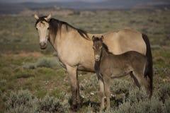 Yegua y bebé del caballo de champán Fotografía de archivo libre de regalías