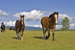 Yegua y potro del caballo de condado fotos de archivo libres de regalías