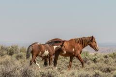 Yegua y potro del caballo salvaje en Colroado imágenes de archivo libres de regalías